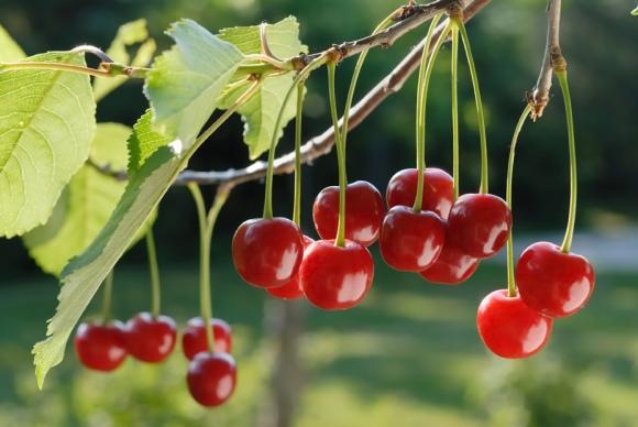 Cherries on the Vine - Photo Courtesy of Chukar (Prosser, WA)